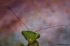 28mrt18prayingmantis1