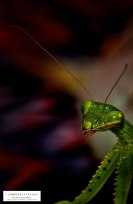28mrt18prayingmantis2