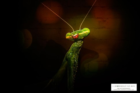 28mrt18prayingmantis4