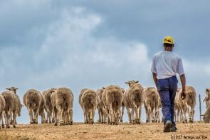 herding-sheep12dec17-2