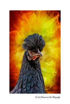 20mei19pg-chicken4