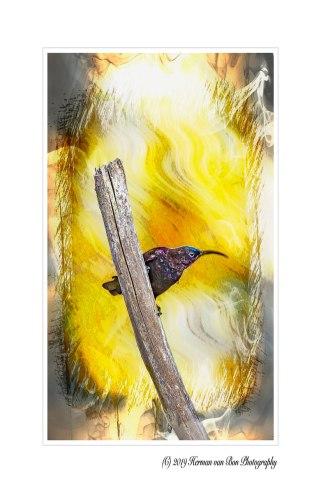 5mei19blacksunbird