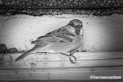 17may20house-sparrow-in-self-isolation