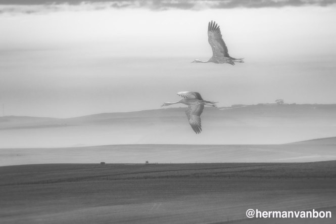 26-april20-foggu-blue-cranes-in-flight