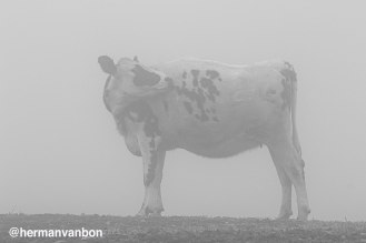 1june20cow-bw